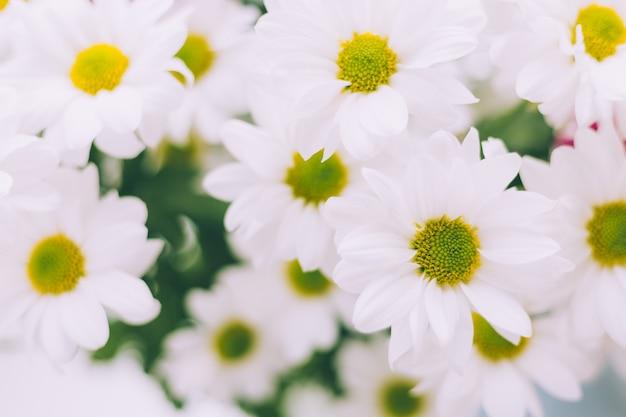 Wiosenne kwiaty chryzantemy