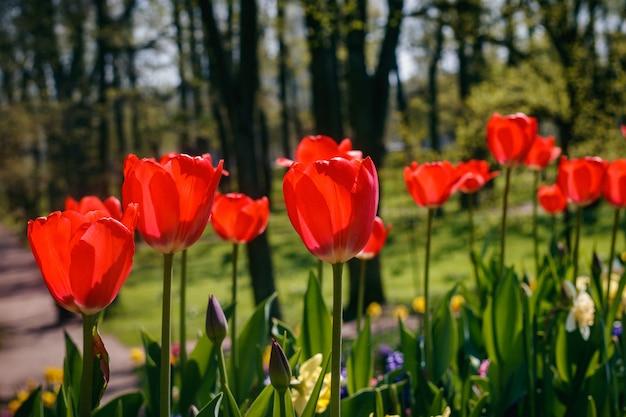 Wiosenne kwiaty czerwone tulipany. piękne czerwone kwiaty.