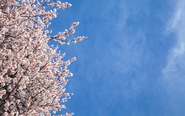 Wiosenne kwiaty. gałęzie kwitnienia moreli na tle błękitnego nieba. biały kwiat. tło wiosna. kwiaty wiśni.