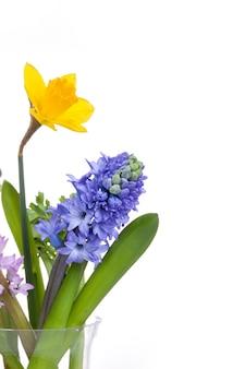 Wiosenne kwiaty - hiacynt i narcyz na białym tle