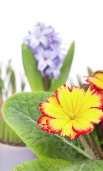 Wiosenne kwiaty, hiacynt i żółty pierwiosnek, na białym tle