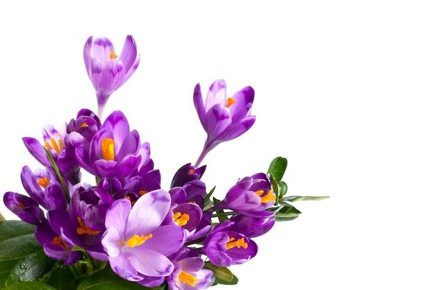Wiosenne kwiaty krokusów na białym tle na białej powierzchni