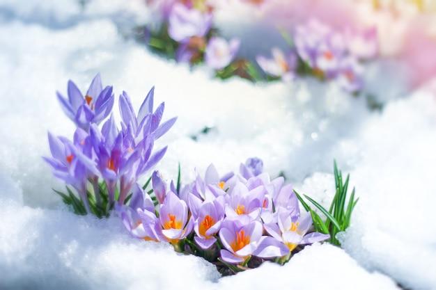 Wiosenne kwiaty krokusy wiosna wypadają spod śniegu