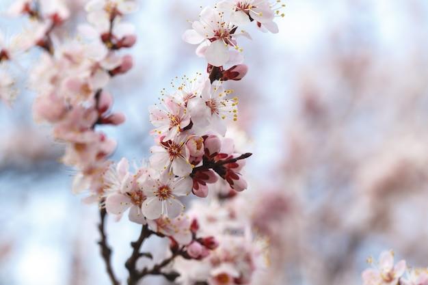 Wiosenne kwiaty. kwitnące drzewa morelowe na zewnątrz. piękny sztandar naturalny