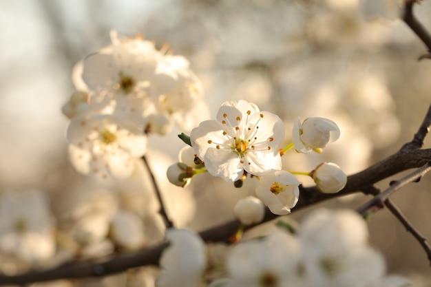 Wiosenne kwiaty kwitnące na drzewie o świcie