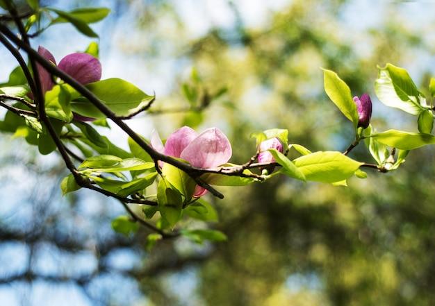 Wiosenne kwiaty magnolii