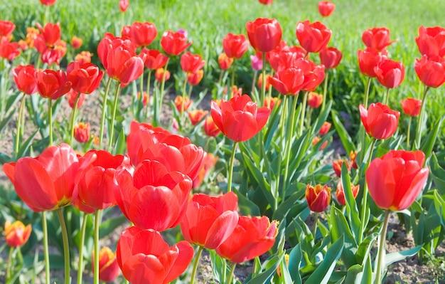 Wiosenne kwiaty piękne czerwone tulipany (tło przyrody).