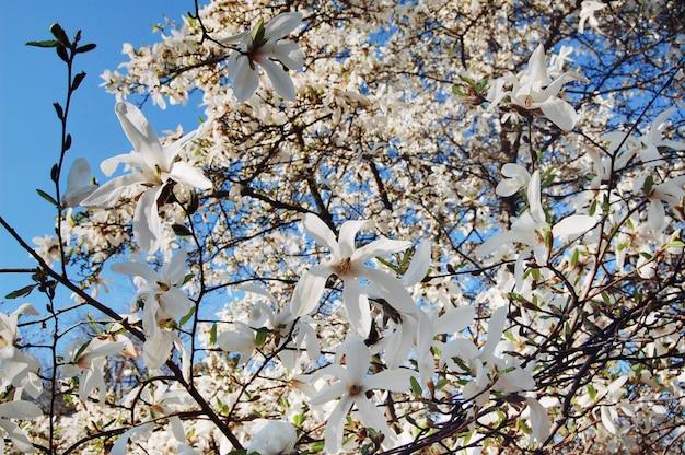 Wiosenne kwiaty. pięknie kwitnąca gałąź drzewa. kwiat drzewa magnolii, sezon wiosenny.