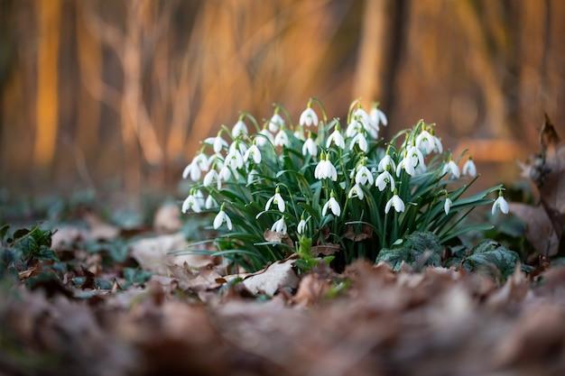 Wiosenne kwiaty przebiśnieg. piękny kwiat przebiśnieg rosnący w śniegu w lesie wczesną wiosną. świeża zieleń dobrze uzupełniająca białe kwiaty przebiśniegów.