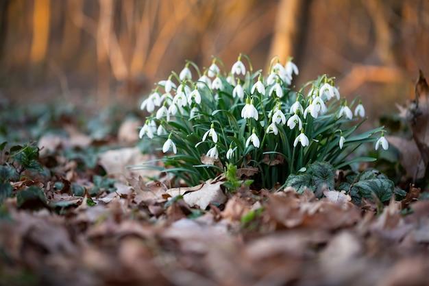 Wiosenne kwiaty przebiśnieg. piękny kwiat przebiśnieg rosnący w śniegu w lesie wczesną wiosną.