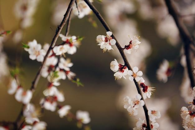 Wiosenne kwiaty wiśni, różowe kwiaty sakura migdałowe