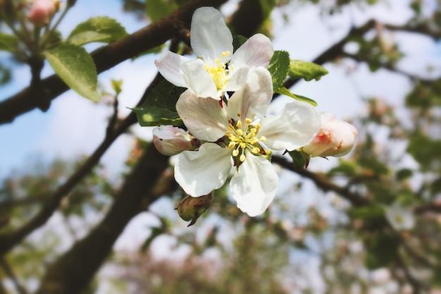 Wiosenne kwiaty wiśni, różowe kwiaty