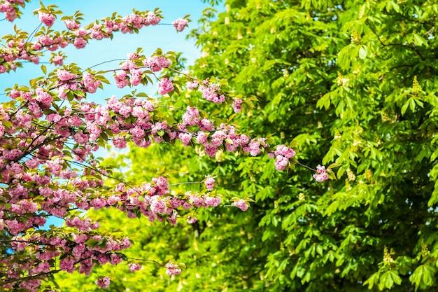 Wiosenne kwiaty wiśni, różowe kwiaty.