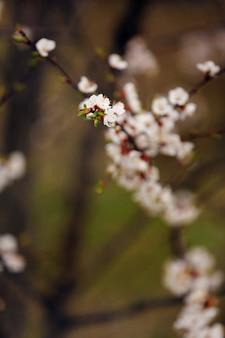 Wiosenne kwiaty wiśni, sakura migdałowe różowe kwiaty