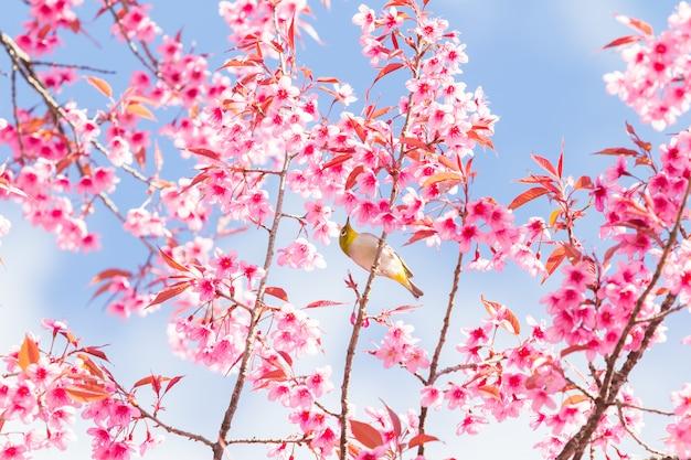 Wiosenne kwiaty wiśni.