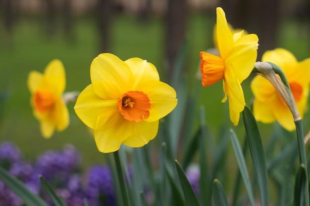 Wiosenne kwiaty żółte żonkile. piękne żółte kwiaty.
