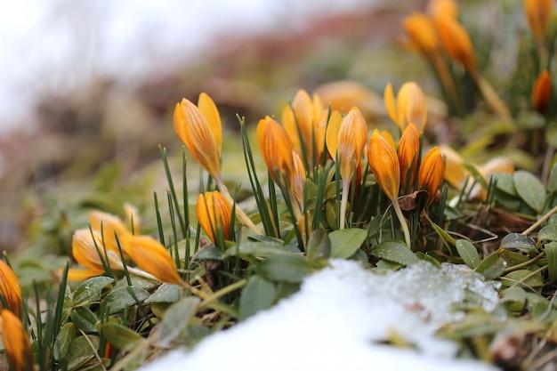 Wiosenne kwiaty. żółty krokus w śniegu