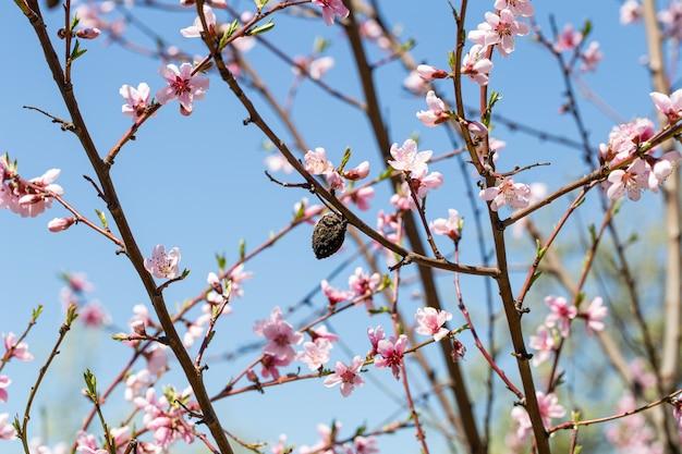 Wiosenne kwitnące morele z bliska na tle nieba
