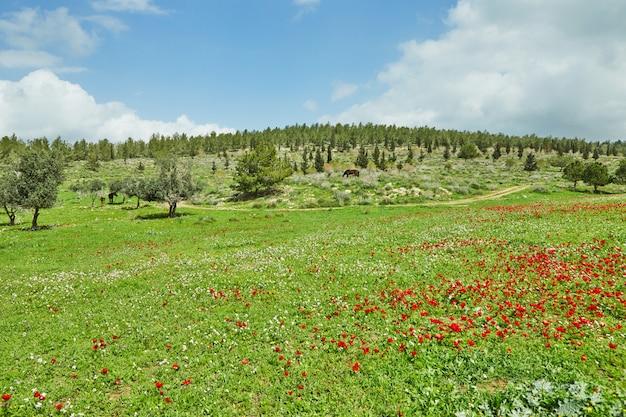 Wiosenne kwitnienie czerwonych kwiatów zawilce na zielonych łąkach w południowym izraelu. czerwone kwiaty maku, narodowy kwiat izraela