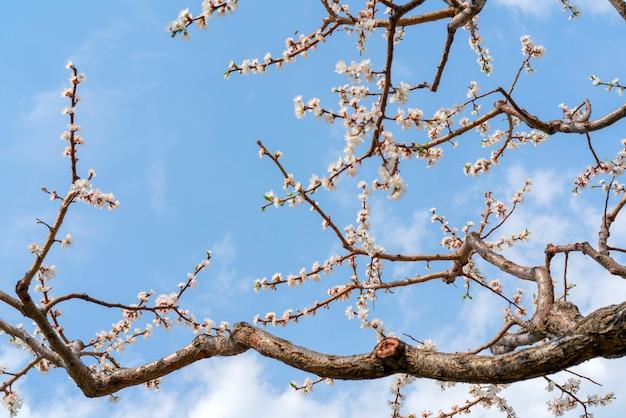 Wiosenne kwitnienie drzewa morelowego