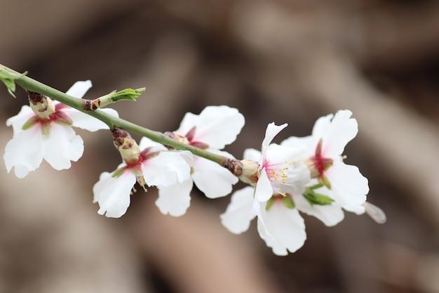 Wiosenne kwitnienie kwiatów na drzewie białe kwiaty