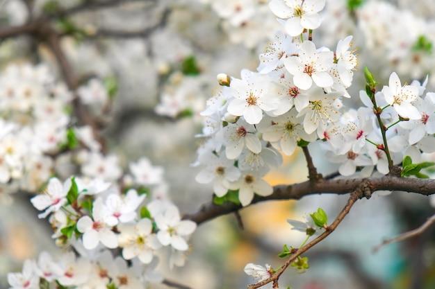 Wiosenne kwitnienie na drzewie. piękne białe kwiaty.