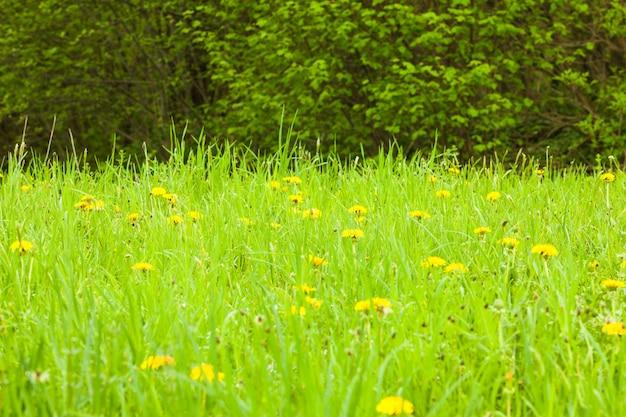 Wiosenne łąki z bliska: zielona trawa i mlecze