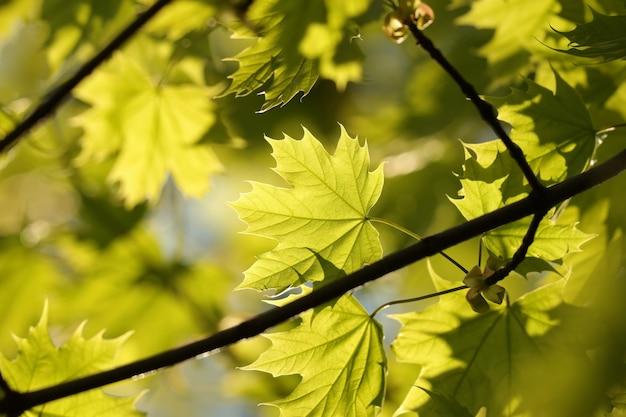 Wiosenne liście klonu na gałązce w lesie