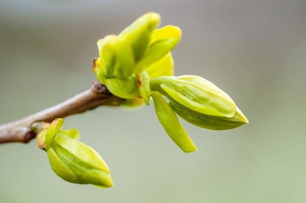 Wiosenne liście wyrastające z drzewa persimmon, natura