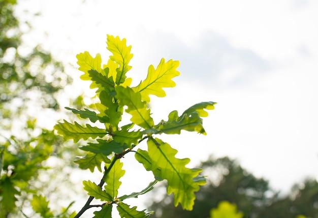 Wiosenne młode liście dębu na tle jasnego słońca i nieba