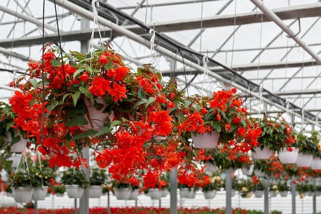Wiosenne piękne czerwone kwiaty w szklarni
