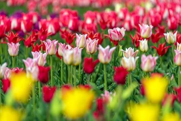 Wiosenne pola kwitnących tulipanów. piękna scena na świeżym powietrzu. krajobraz farmy kolorowych kwiatów