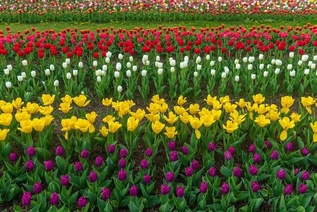 Wiosenne pola kwitnących tulipanów. piękno sceny na świeżym powietrzu. krajobraz gospodarstwa kolorowe kwiaty