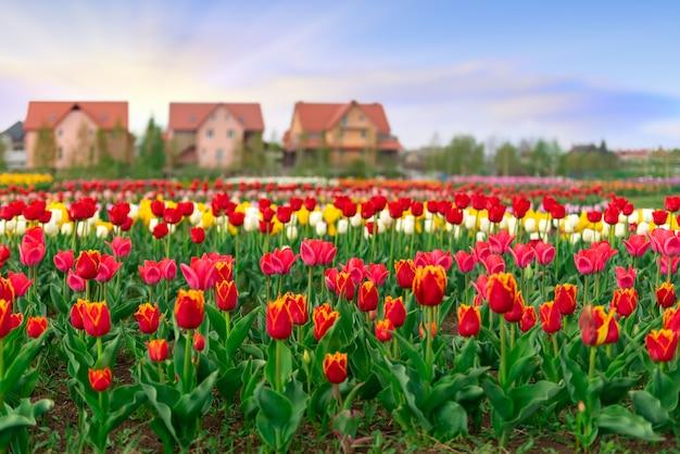 Wiosenne pola kwitnących tulipanów wilh tree home build background