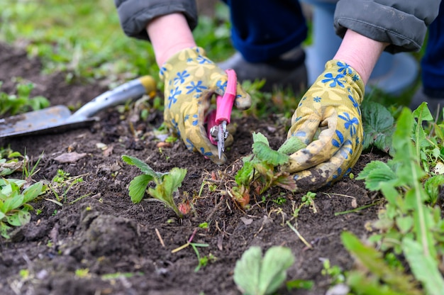 Wiosenne przycinanie i pielenie krzewów truskawek. ręce kobiet w rękawicach ogrodniczych pielących chwasty i przycinających liście truskawek nożyczkami.