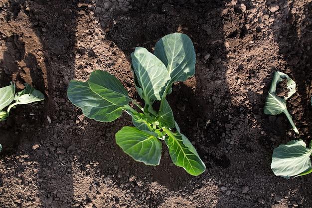 Wiosenne sadzenie kapusty w ziemi w ogrodzie. ręce trzymają kiełek. ścieśniać.