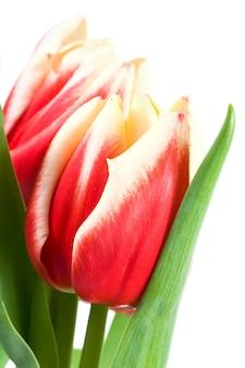 Wiosenne wakacje czerwono-białe kwiaty tulipanów na białym tle na białej powierzchni