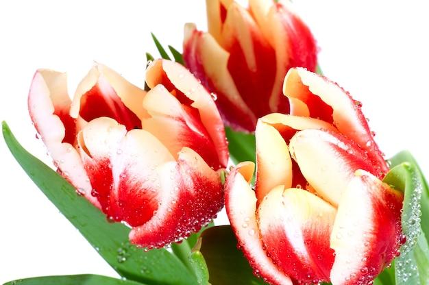 Wiosenne wakacje czerwono-białe kwiaty tulipanów na białym tle