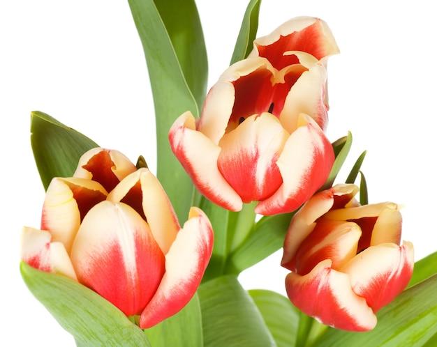 Wiosenne wakacje czerwono-białe kwiaty tulipanów na jasnej powierzchni