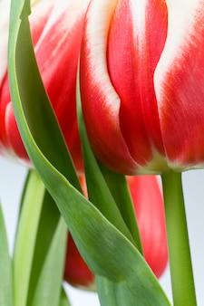 Wiosenne wakacje czerwono-białe kwiaty tulipanów na jasnym tle (nie na białym tle)