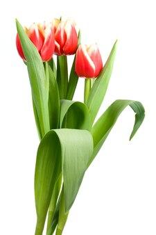 Wiosenne wakacje czerwono-białe kwiaty tulipanów na lekkiej ścianie