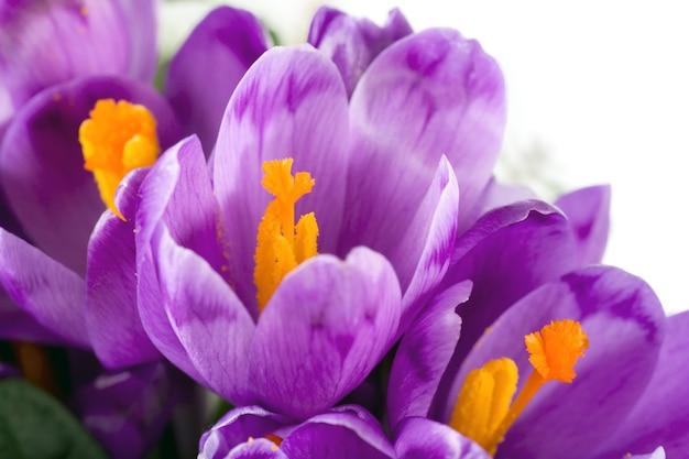 Wiosenne wakacje krokus kwiaty powierzchnia ( )