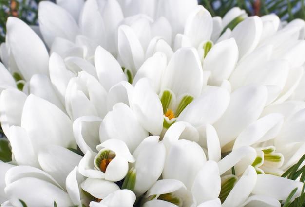 Wiosenne wakacje kwiaty przebiśnieg