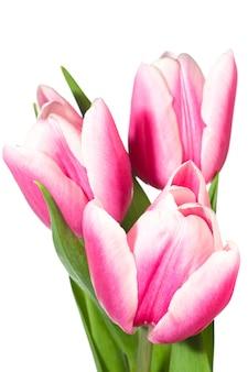 Wiosenne wakacje różowo-białe kwiaty tulipanów na białym tle