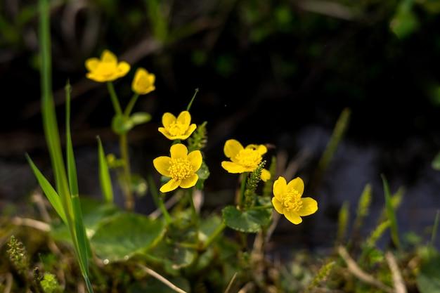 Wiosenne żółte kwiaty zbliżenie