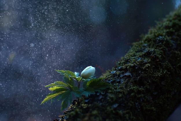 Wiosenny biały kwiat pod kroplami deszczu wczesnym rankiem, z efektem bokeh