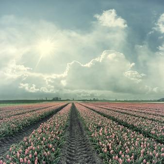 Wiosenny krajobraz z polem czerwonych tulipanów i słońca na niebie, piękne kwiaty, styl vintage