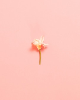 Wiosenny kwiat biały kwiat na różowej powierzchni. widok z góry na płasko. minimalistyczna koncepcja