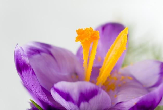 Wiosenny kwiat krokusa na jasnym tle (makro)