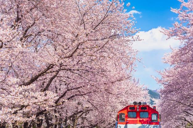 Wiosenny kwiat wiśni w korei jest popularnym miejscem do oglądania kwiatów wiśni, jinhae w korei południowej.